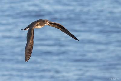Petrel de Fénix |  Pterodroma alba  |  Phoenix Petrel
