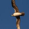 Petrel de Herald |  Pterodroma heraldica  |  Herald Petrel