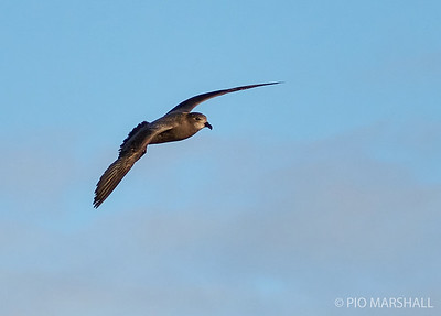 Petrel de Murphy |  Pterodroma ultima  |  Murphy's Petrel