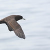 Petrel de barba blanca |  Procellaria aequinoctialis  |  White-chinned Petrel