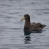 Petrel gigante subantártico |  Macronectes halli  |  Northern Giant-Petrel
