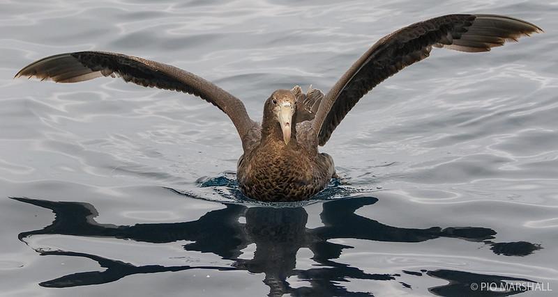 Petrel gigante subantártico   Macronectes halli   Northern Giant-Petrel