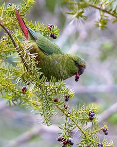 Cachaña   Enicognathus ferrugineus   Austral Parakeet