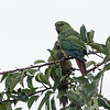 Cachaña |  Enicognathus ferrugineus  |  Austral Parakeet