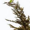 Cotorra |  Myiopsitta monachus  |  Monk Parakeet