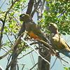 Tricahue   Cyanoliseus patagonus   Burrowing Parakeet