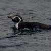 Pingüino de Humboldt | Spheniscus humboldti | Humboldt Penguin