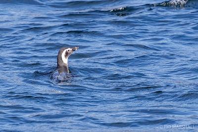 Pingüino de Magallanes    Spheniscus magellanicus     Magellanic Penguin