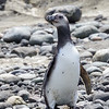 Pingüino de Magallanes | Spheniscus magellanicus | Magellanic Penguin