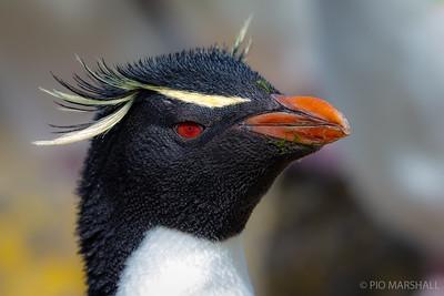 Pingüino de penacho amarillo    Eudyptes chrysocome     Rockhopper Penguin