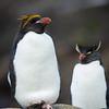Pingüino macaroni |  Eudyptes chrysolophus  |  Macaroni Penguin