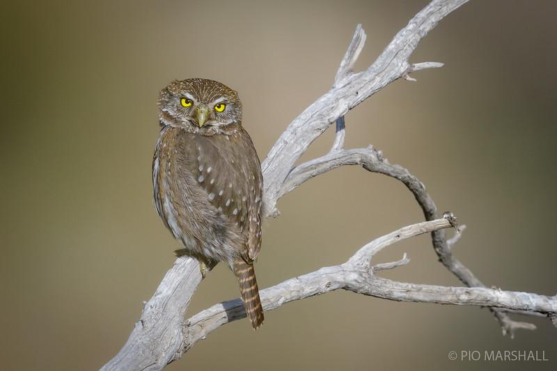 Chuncho austral    Glaucidium nana     Austral Pygmy-Owl