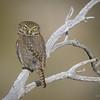 Chuncho austral |  Glaucidium nana  |  Austral Pygmy-Owl