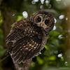 Concón | Strix rufipes | Rufous-legged Owl