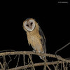 Lechuza |  Tyto alba  |  Barn Owl
