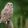 Nuco | Asio flammeus | Short-eared Owl