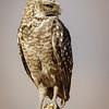 Pequén |  Athene cunicularia  |  Burrowing Owl