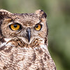 Tucúquere | Bubo virginianus | Great Horned Owl