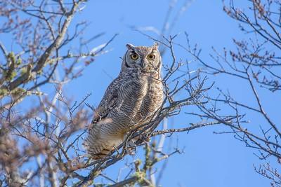 Tucúquere   Bubo virginianus   Great Horned Owl