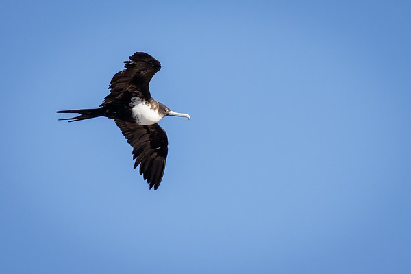 Ave fragata grande | Fregata minor | Great Frigatebird