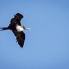Ave fragata grande | Fregata minor | Great Frigatebird