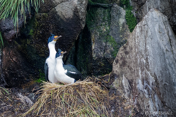 Cormorán imperial    Phalacrocorax atriceps     Imperial Cormorant
