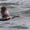 Lile |  Phalacrocorax gaimardi  |  Red-legged Cormorant