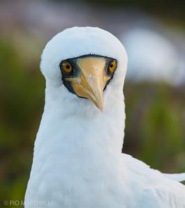 Piquero blanco |  Sula dactylatra  |  Masked Booby