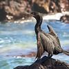 Yeco | Phalacrocorax brasilianus | Neotropic Cormorant