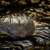 Perdiz chilena |  Nothoprocta perdicaria  |  Chilean Tinamou