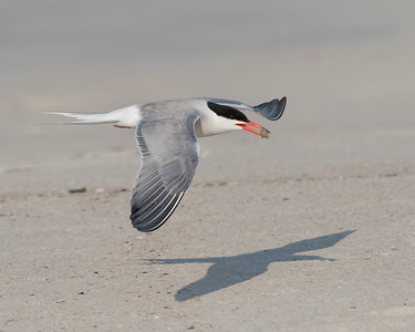 Common Tern (Sterna hirundo) flying over the beach, Nickerson Beach, Lido Beach, New York