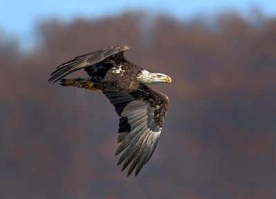 Juvenile Bald Eagle (Haliaeetus leucocephalus) Flying