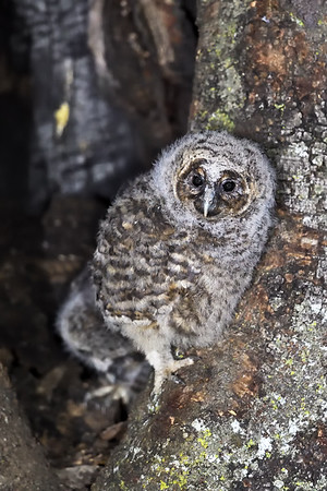 灰林鸮 Tawny Owl Location : 百花嶺 野拍 Date 10 April 2016