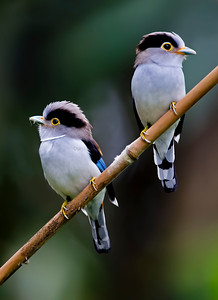 Silver-breasted Broadbill (Male and Female)