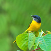 Grey-chinned Minivet (Female)