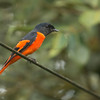 Grey-chinned Minivet (Male)