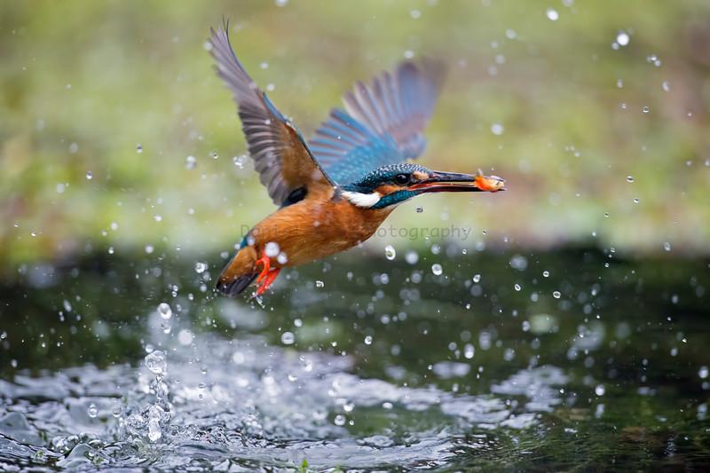 小翠 (Common Kingfisher)