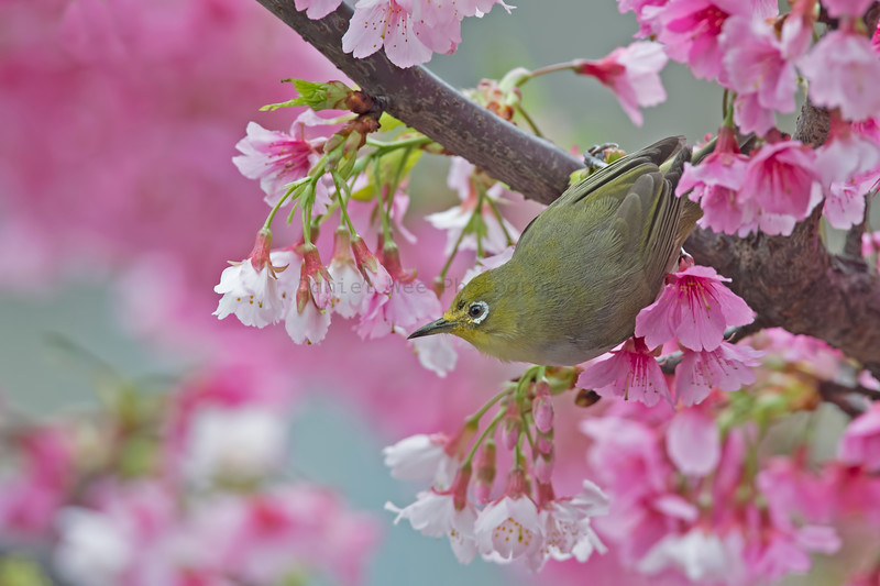 綠繡眼 (Japanese White-eye)