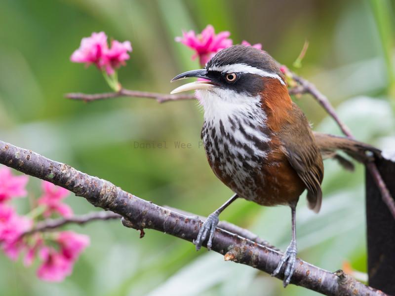 小彎嘴 (Taiwan Scimitar-Babbler)