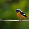 黃尾鴝 (Daurian Redstart - Male)