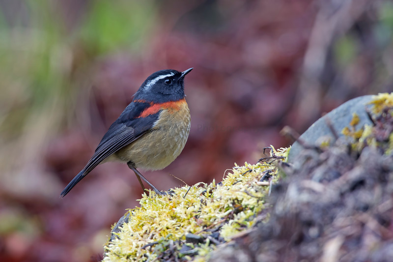 栗背林鴝 (Collared Bush-Robin -male)