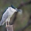 Black-crowned Night-Heron 夜鷺