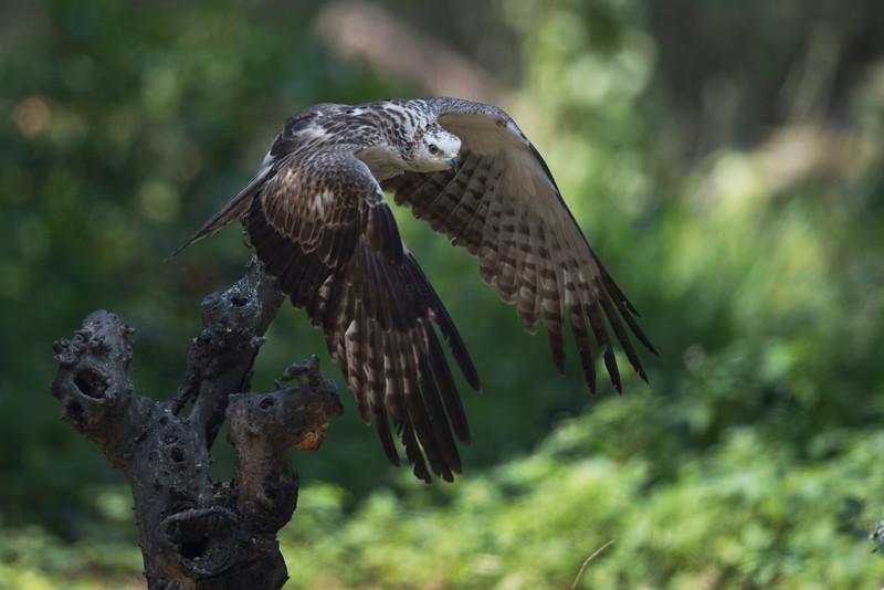 Oriental Honey-buzzard 東方蜂鷹