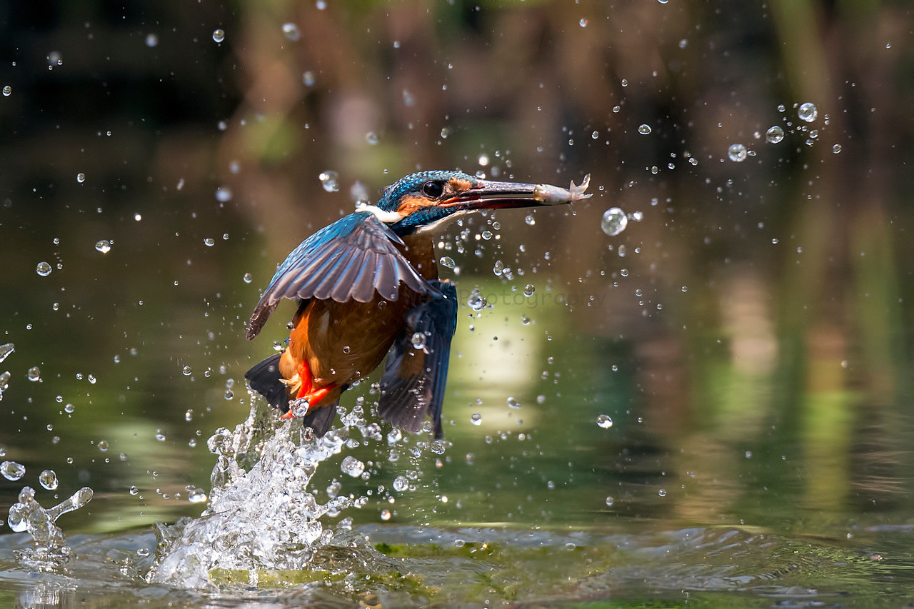 Common Kingfisher (小翠)