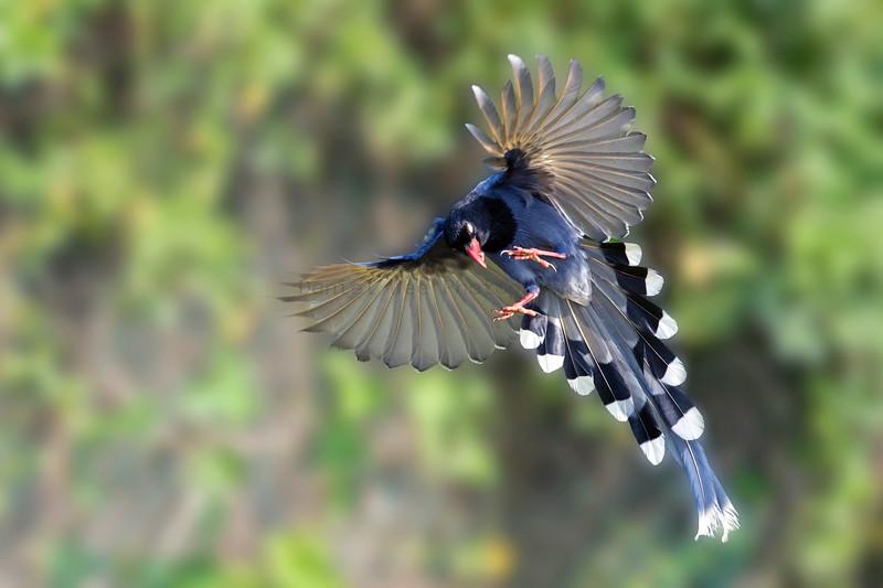 Taiwan Blue-Magpie 台灣藍鵲