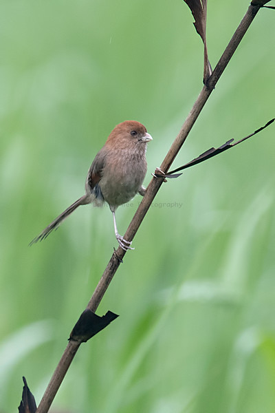 Vinous-throated Parrotbill 粉紅鸚嘴