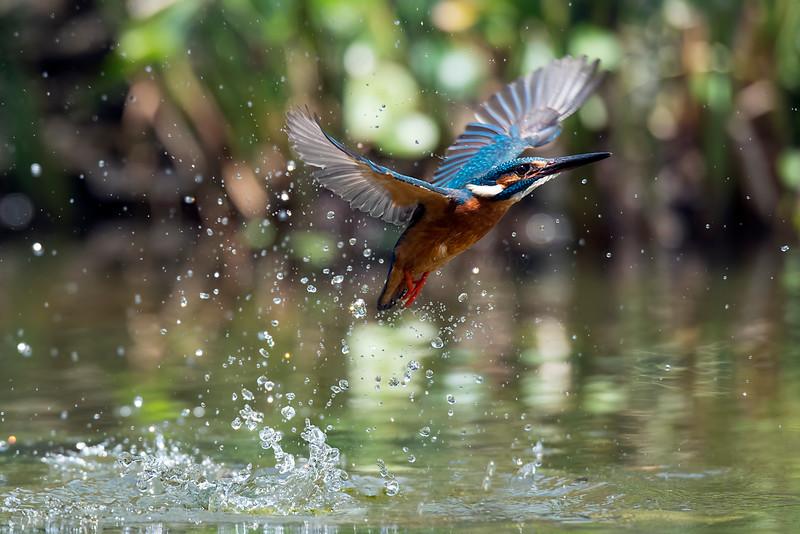 Common Kingfisher (小翠)