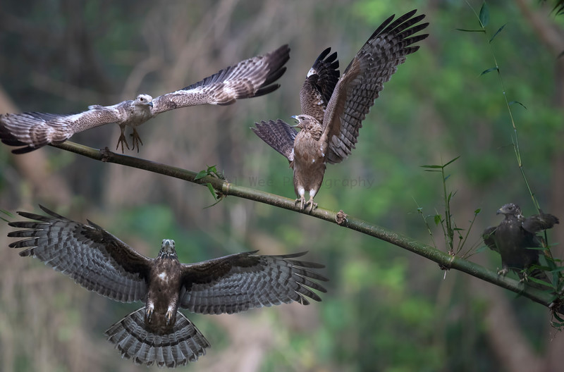 Oriental Honey-buzzard東方蜂鷹