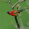 Mrs Gould Sunbird Male