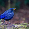 Blue Whistling Thrush Resident